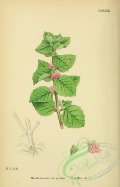 mint-00071 - Corn Mint, mentha arvensis agrestis