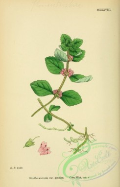 mint-00073 - Corn Mint, mentha arvensis genuina