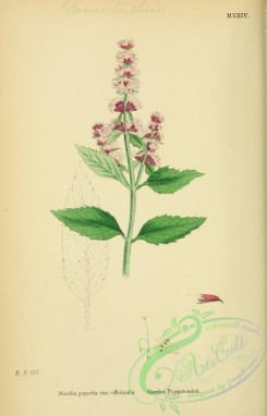 mint-00075 - Garden Peppermint, mentha piperita officinalis