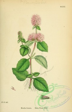 mint-00076 - Hairy Water Mint, mentha hirsuta