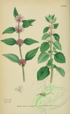 mint-00077 - Marsh Whorled Mint, mentha sativa genuina