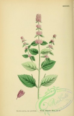 mint-00078 - Marsh Whorled Mint, mentha sativa paludosa