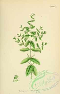 mint-00079 - Meadow Mint, mentha pratensis