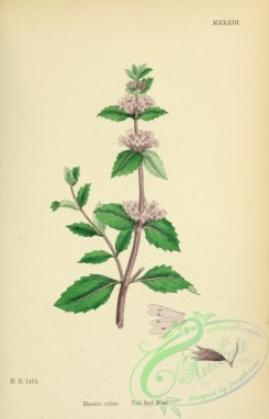 mint-00085 - Tall Red Mint, mentha rubra