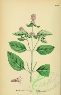 mint-00086 - Wild Peppermint, mentha piperita vulgaris