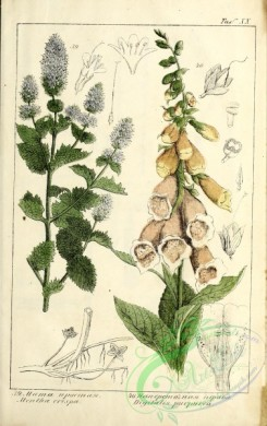 mint-00101 - mentha crispa, digitalis purpurea