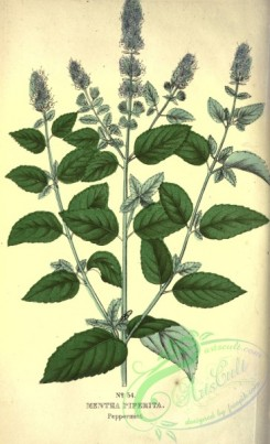 mint-00110 - Peppermint, mentha piperita