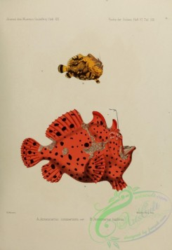 monster_fishes-00016 - Commerson'S Frogfish, antennarius bigibbus