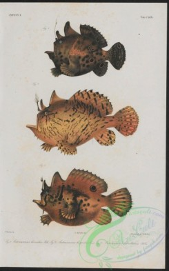 monster_fishes-00029 - 001-antennarius horridus, antennarius hispidus, antennarius biocellatus