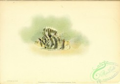 monster_fishes-00046 - 073-Hawaiian Lionfish, dendrochirus hudsoni
