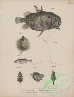 monster_fishes-00049 - 020-monocetris carinata, Three-Spined Stickleback, gasterosteus aculeatus