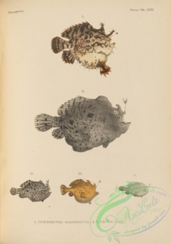 monster_fishes-00052 - 096-chironectes marmoratus, Striated Frogfish, chironectes tridens