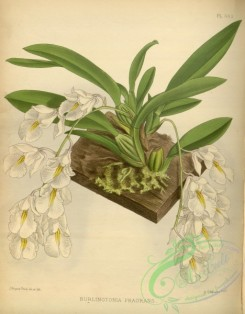 mounted-00009 - burlingtonia fragrans