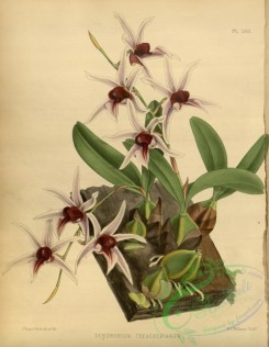 mounted-00017 - dendrobium treacherianum