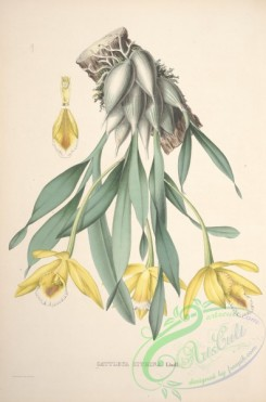 mounted-00022 - cattleya citrina