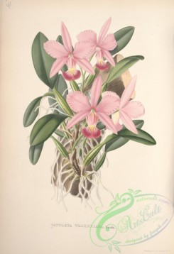 mounted-00023 - cattleya walkeriana