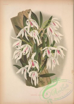 mounted-00028 - leptotes bicolor