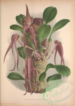 mounted-00035 - bulbophyllum grandiflorum