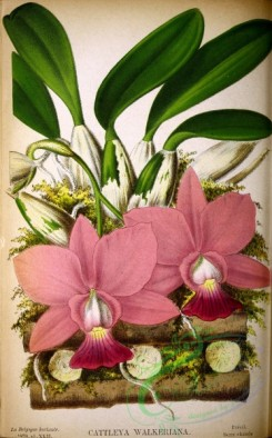 mounted-00041 - cattleya walkeriana