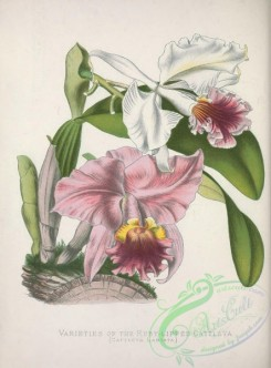 mounted-00050 - Ruby-lipped Cattleya, cattleya labiata