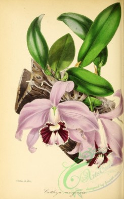 mounted-00052 - White-bordered flowered Cattleya, cattleya marginata