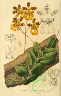 mounted-00076 - oncidium limminghei