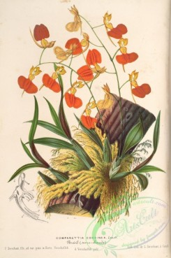 mounted-00079 - comparettia coccinea
