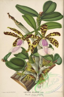 mounted-00081 - cattleya aclandiae