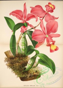 mounted-00089 - cattleya nobilior