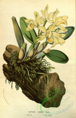 mounted-00106 - cattleya luteola