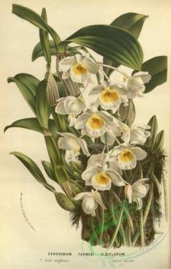 mounted-00107 - dendrobium farmeri albiflorum