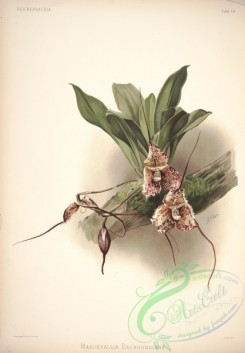 mounted-00111 - masdevallia backhousiana