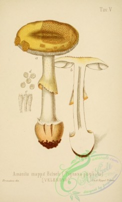 mushrooms-00003 - amanita mappa [2447x4023]