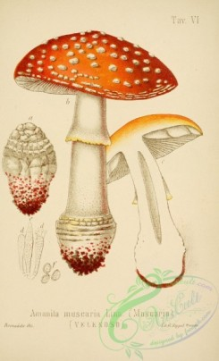 mushrooms-00004 - amanita muscaria [2447x4023]