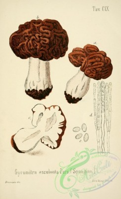 mushrooms-00049 - gyromitra esculenta [2447x4023]
