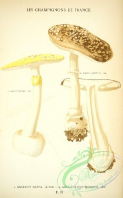 mushrooms-00237 - agaricus mappa, agaricus pantherinus [2395x3851]
