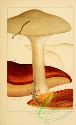 mushrooms-00282 - Dusky Caps, Beef Steak [1999x3243]