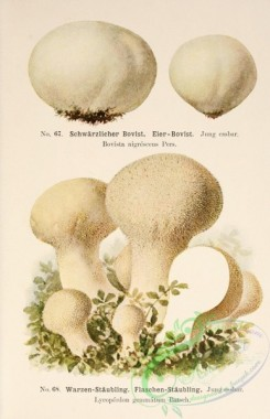 mushrooms-00318 - bovista nigrescens, lycoperdon gemmatum [2338x3617]