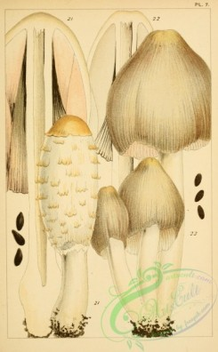 mushrooms-00380 - coprinus comatus, coprinus atramentarius [2083x3368]