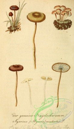mushrooms-03509 - agaricus (mycena) esculentus [1916x3337]