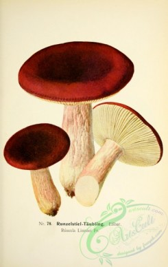 mushrooms-05307 - 043-russula linnaei