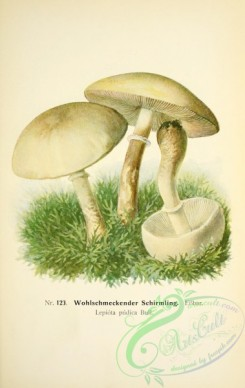 mushrooms-05339 - 075-lepiota pudica
