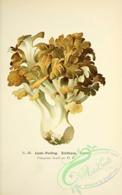 mushrooms-05490 - 020-polyporus frondosus