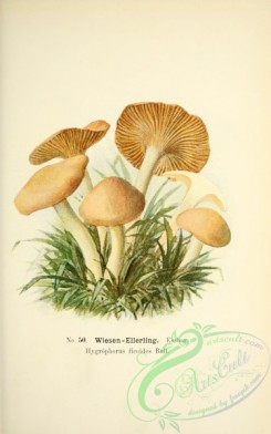 mushrooms-05500 - 030-hygrophorus ficoides