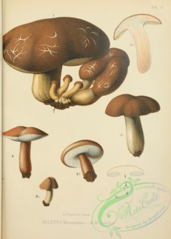 mushrooms-05984 - boletus messanensis, boletus fulvidus