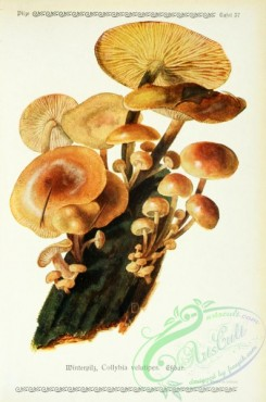 mushrooms-06243 - collybia velutipes