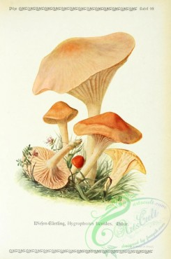 mushrooms-06248 - hygrophorus ficoides