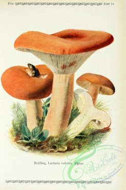 mushrooms-06260 - lactaria volema