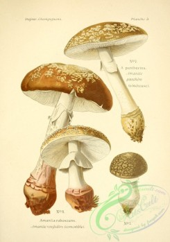 mushrooms-06497 - amanita pantherina, amanita ruescens
