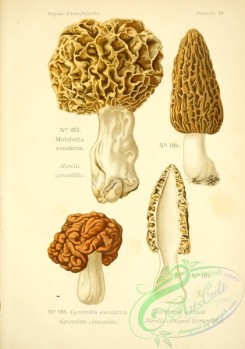 mushrooms-06555 - morchella conica, gyromitra, morchella esculenta